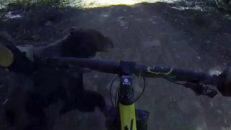 Cyklar på en björn