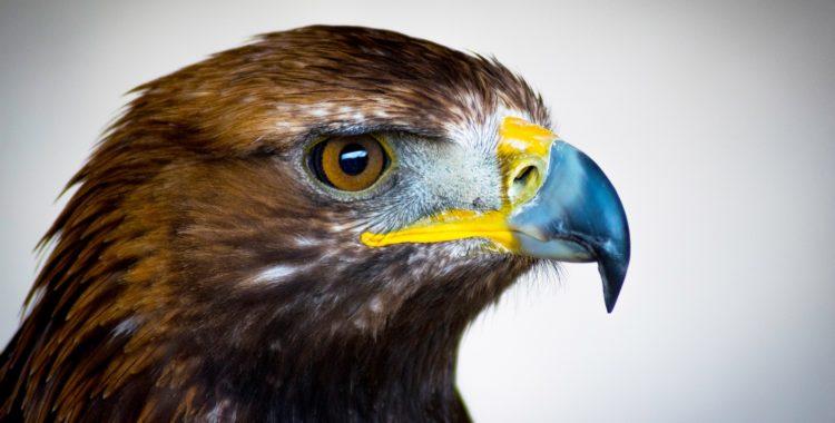 golden-eagle-2513225_1920-750x380.jpg